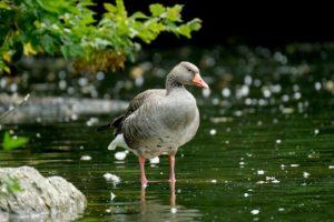 goose, greylag goose, lake