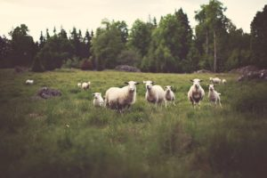 sheep, grass, agriculture