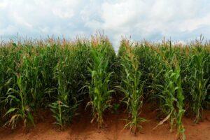 maize, corn, field