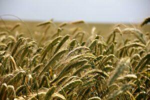 wheat, field, grass