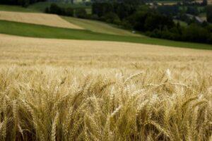 wheat, field, rural