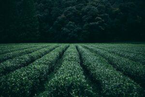 plantation, tea, field